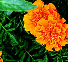 Marigolds.... by Sheila  Pasket