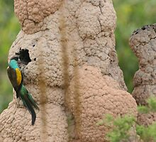 Hooded Parrot at nest by Stuart Cooney