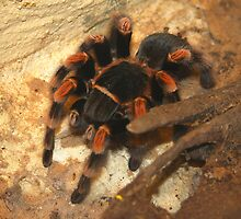 Red-kneed Tarantula by jdmphotography