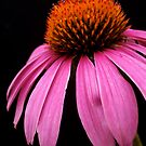 Cone Flower by Pamela Hubbard
