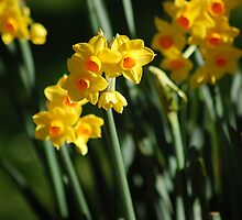 Daffodils by Austin Rattray
