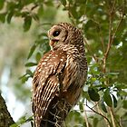 Barred Owl by Phillip  Simmons