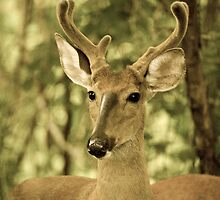 Young Florida Buck by Phillip  Simmons