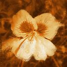Tattered Pansy by Kimberlolly