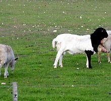 Baa Baa Black and White Sheep by OZImage