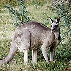 Handsome Kangaroo at Hall's Gap - The Grampians Vic. by EdsMum
