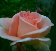 peach rose by jackie2012