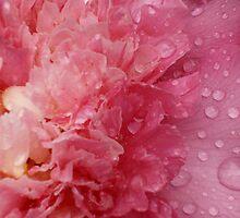 Camellia 2-3 by beeden