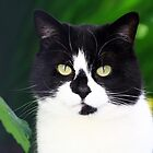 Black and white cat looking at camera by ljm000