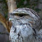 Tawny Frogmouth by Karine Radcliffe