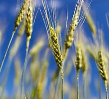 Wheat field closeup by naturalis