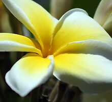 Yellow Frangipani by Teresa Zieba