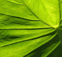 Sun Backlit Elephant Leaf by rogerlloyd