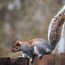 Scottish Grey Squirrel #1 by Jane-in-Colour
