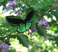 male birdwing  by robmac