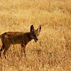 Coyote pup, by flyfish70