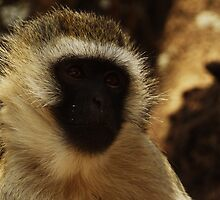 Monkey Face by Robin Hayward