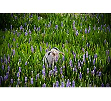 Great Blue Heron in Pickerel Weed Photographic Print