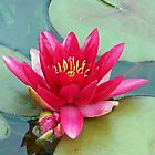 Dreaming Away The Summer - Reddish-Pink Water Lily by MidnightMelody