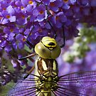 Dragonfly on a Buddleia 2 by bubblebat
