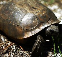 Gopher Tortoise by Michael Gatch
