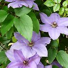 Purple Clematis by artgoddess