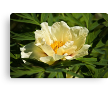Yellow tree peony  Canvas Print
