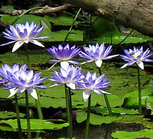 Water Lillies - Batavia Downs by Marilyn Harris