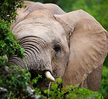 African Elephant by Viv van der Holst