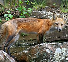 """Little Red Fox"" by Vickie Emms"