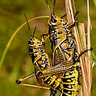 Southeastern Lubber Grasshopper Mates by Bonnie T.  Barry