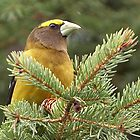 Evening Grosbeak by Robert Elliott