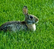 Our Backyard Bunny by Marie Sharp