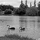 Black Swans by GailD