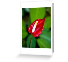 Miniature Deep Red Anthurium Flower  Greeting Card