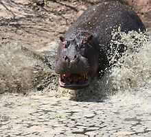 Hippo Tital Wave by Jake Freeedman
