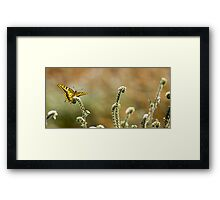 Common yellow swallowtail (Papilio machaon) butterfly  Framed Print