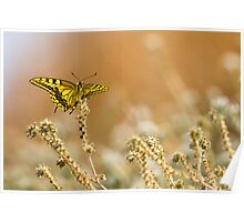 Common yellow swallowtail (Papilio machaon) butterfly  Poster