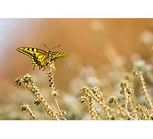 Common yellow swallowtail (Papilio machaon) butterfly  Photographic Print