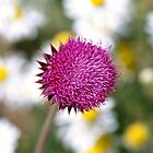 Purple thistle. by Andrew Ferguson