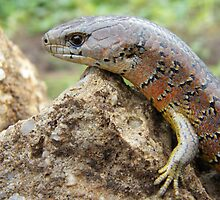 She-Oak skink by Thow's Photography