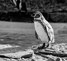 Penguin in Black & White by jboffinphoto