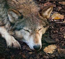 Sleeping Wolf by jboffinphoto