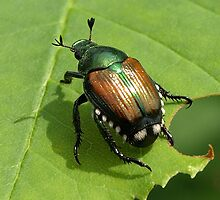 A Japanese Beetle by Moxy