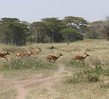 Leapping Gazelle by Jake Freeedman