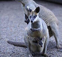 Kangaroo by jongsoolee