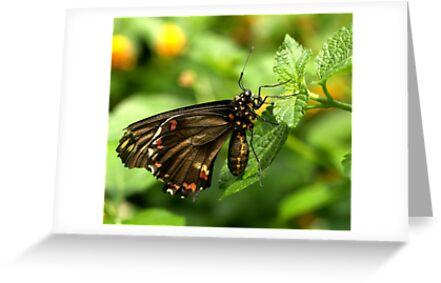 Polydamas Swallowtail by Lisa G. Putman