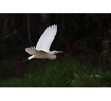 Egret at Fogg Dam Reserve, Northern Territory Photographic Print