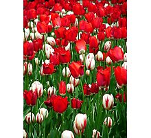 Sea of Tulips Photographic Print