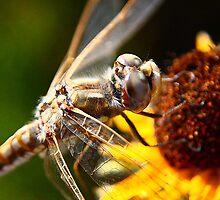 Resting Dragonfly by SB  Sullivan